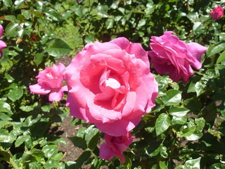 春の薔薇園(7)