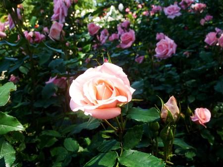 春の薔薇園(8)