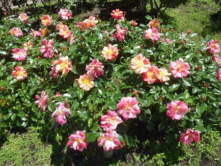 春の薔薇園(9)