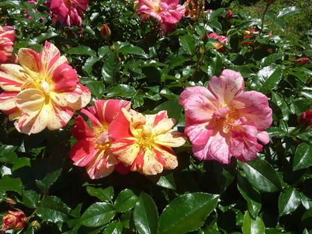 春の薔薇園(10)
