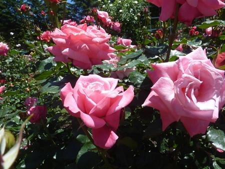 春の薔薇園(16)