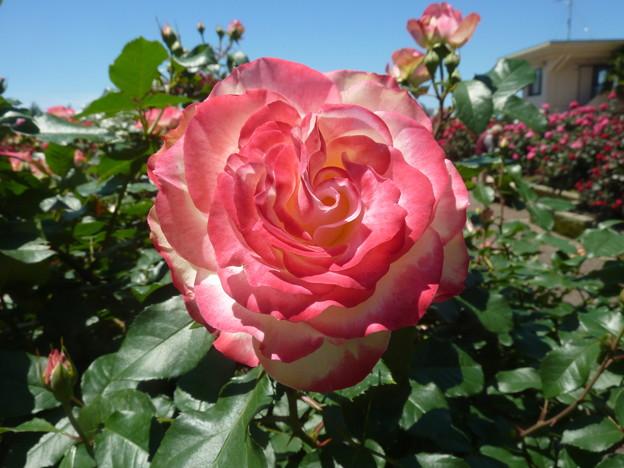 春の薔薇園(17)