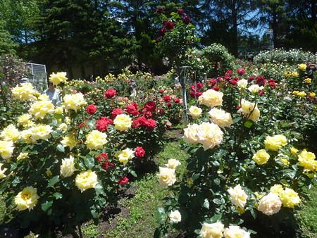 春の薔薇園(18)