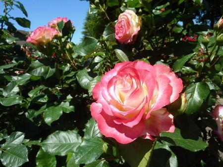 春の薔薇園(19)
