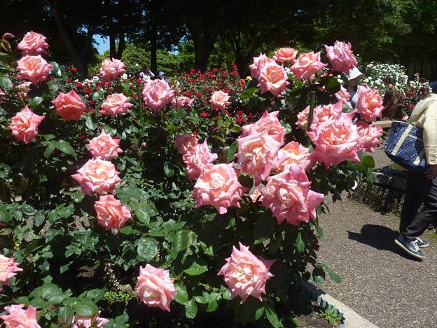 春の薔薇園(20)