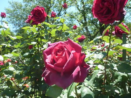 春の薔薇園(26)