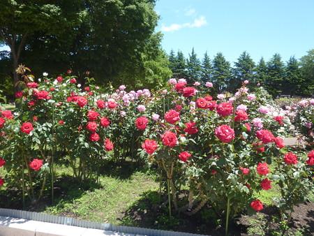 春の薔薇園(27)