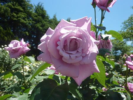 春の薔薇園(28)