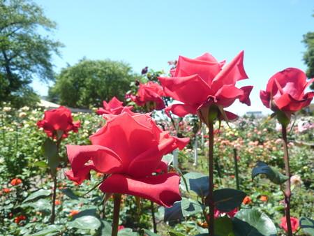 春の薔薇園(29)
