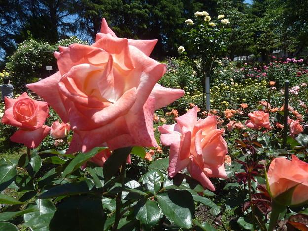 春の薔薇園(30)