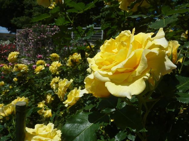 春の薔薇園(33)
