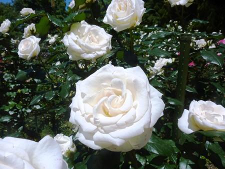 春の薔薇園(32)