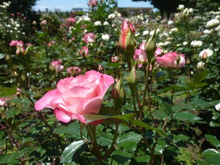 春の薔薇園(34)
