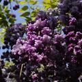 Photos: 藤の花 珍種