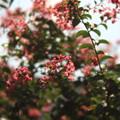 Photos: 百日紅