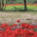 Photos: 彼岸花