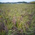 写真: 赤米