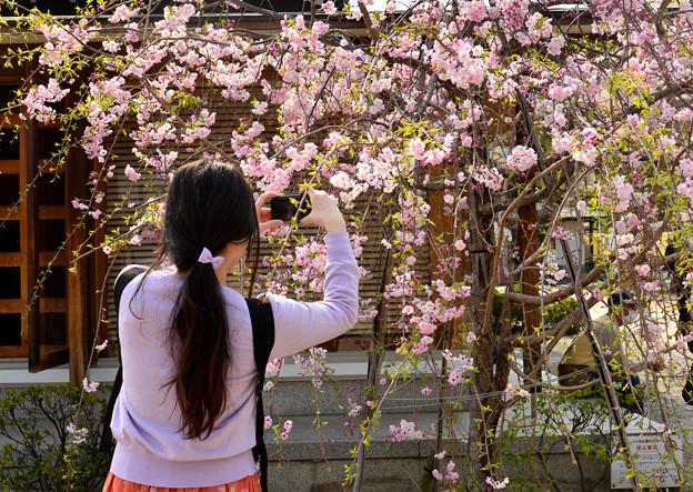 四天王寺の桜 20190404-6
