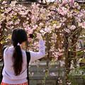 Photos: 四天王寺の桜 20190404-6