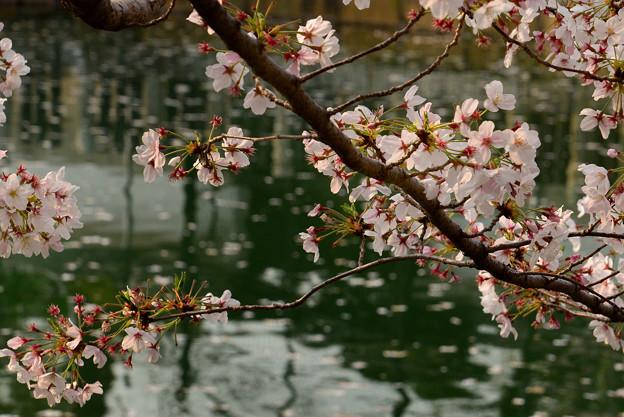 四天王寺の桜 20190404-7
