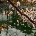 Photos: 四天王寺の桜 20190404-7