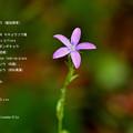 Photos: ヒナキキョウソウ