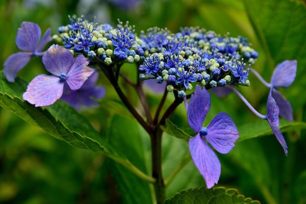 善峯寺の紫陽花 #1