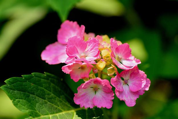 善峯寺の紫陽花 #12