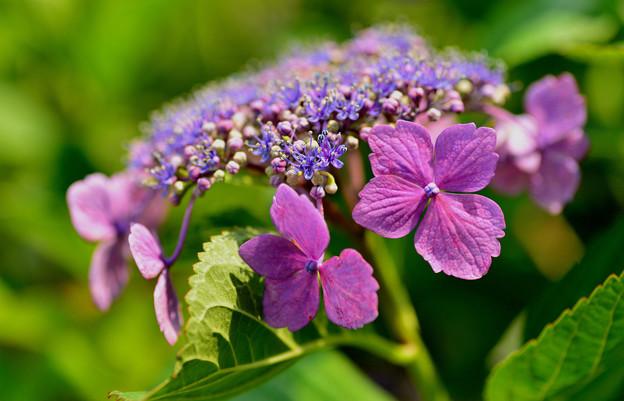 善峯寺の紫陽花 #14