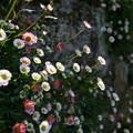 写真: 石垣に咲く