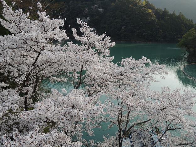十津川の桜