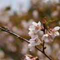 Photos: 稜線に咲くさくら