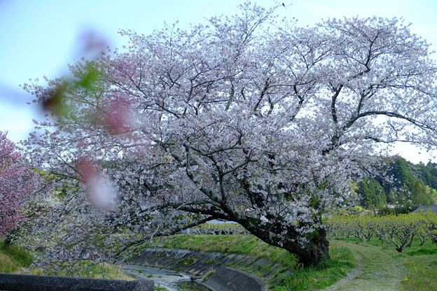 敷地川の桜