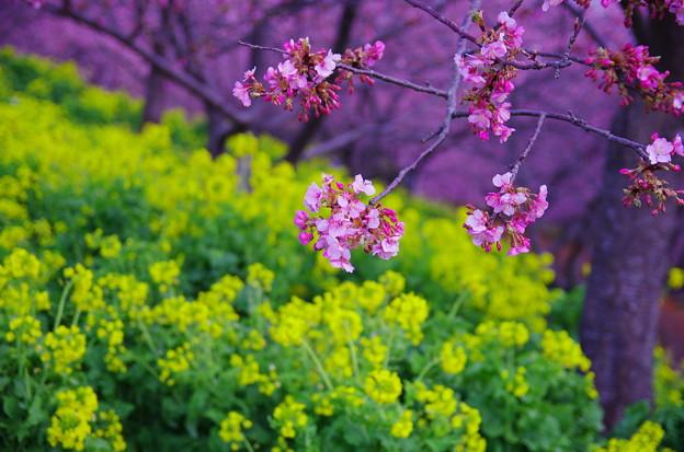 春色~七分咲き~