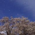 写真: IMGP9355 花吹雪