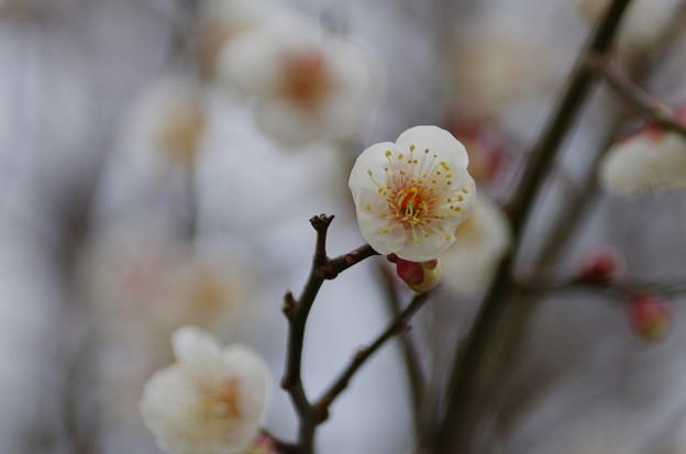 Photos: IMGP7924 梅