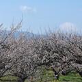 写真: IMGP8700富士山と梅林