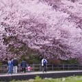 写真: IMGP8194 春めき桜