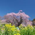 IMGP8875 滝桜