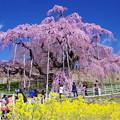 IMGP8393 滝桜
