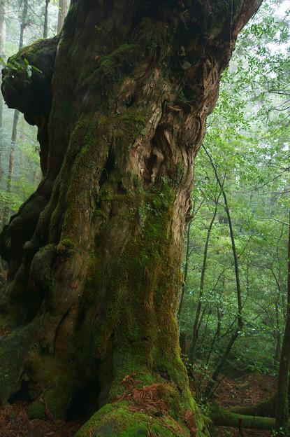 [2018年4月12日]仏陀杉(屋久島)