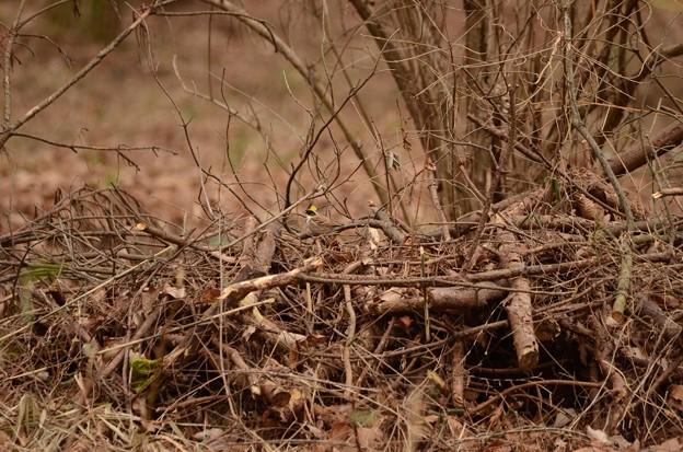 薄暗い林の枯れ枝にミヤマホオジロ(♂)