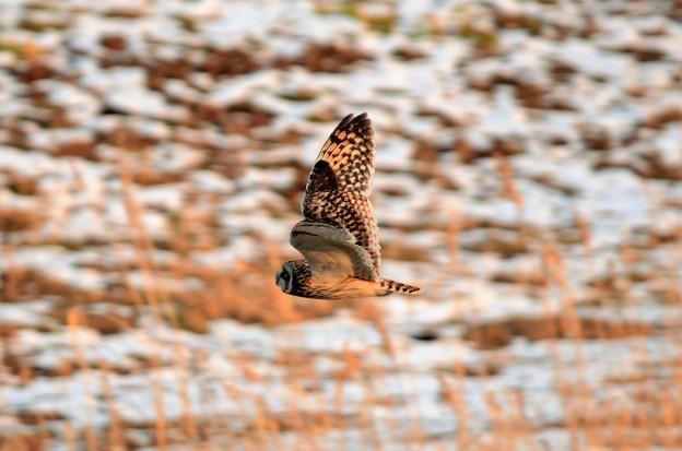 雪残る夕暮れの草原を飛ぶコミミズク