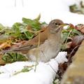写真: 雪とシロハラ
