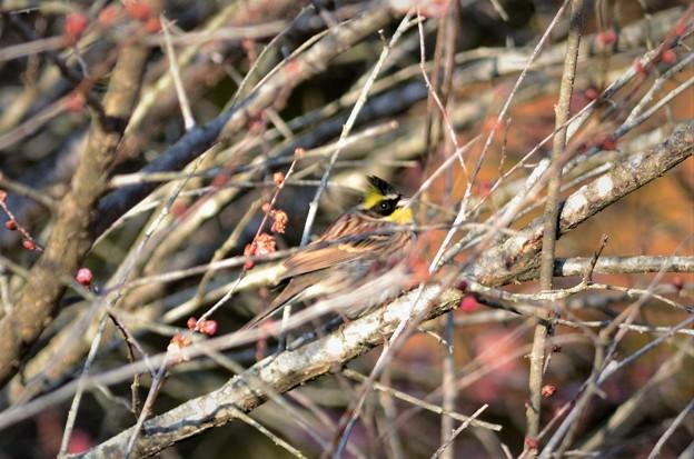 梅の木にミヤマホオジロくん♪