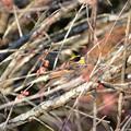 写真: 梅の木にミヤマホオジロくん♪