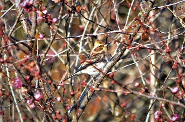 梅の木にミヤマホオジロさん(^^♪