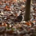 写真: 夕陽の落ち葉に佇むツグミ