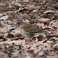写真: 落ち葉の林にシロハラ