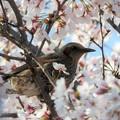 写真: 桜ヒヨドリ♪